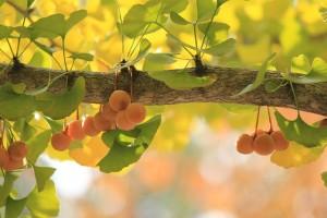 イチョウの木(葉と実)