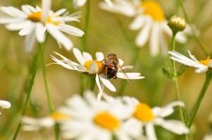ローマンカモミールとミツバチ