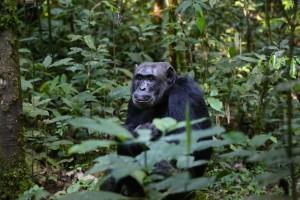 野生のチンパンジー
