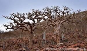 乳香(フランキンセンス)の木