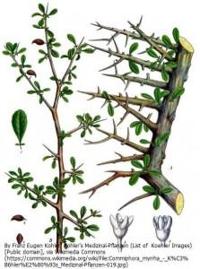 没薬(ミルラ)の木