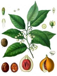 ナツメグ(英語:nutmeg、学名:Myristica fragrans)