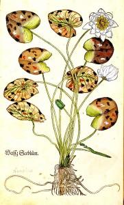 オットー・ブルンフェルス『本草写生図譜』より、写実的な植物の描写 ( Hans Weiditz によるイラスト)