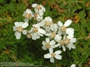 ジャコウノコギリソウ(花)
