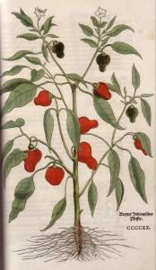 レオンハルト・フックス『植物誌』より、ハラペーニョの挿絵