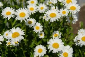 ローマンカモミール(花)
