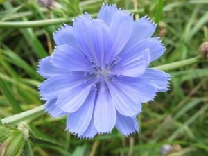 チコリー(花)