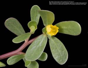 スベリヒユ(花)