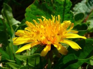 タンポポ(花)