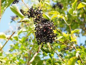 エルダーベリー(エルダーの果実)