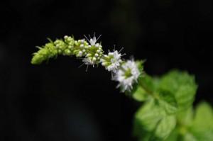 スペアミント(花)