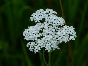 ヤロー(白い花)