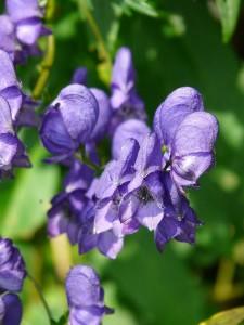 ホメオパシーで使われる代表的な植物「アコナイト」(英名:monkshood、和名:トリカブト, 学名:Aconitum)。有毒植物である。