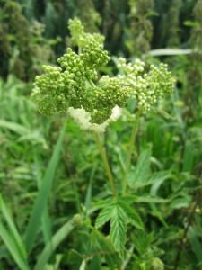 メドウスイート(Meadowsweet、和名:セイヨウナツユキソウ、学名:Filipendula ulmaria)。サリシンが抽出できる。