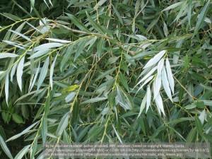 セイヨウシロヤナギ(学名:Salix alba)。サリシンが抽出される。