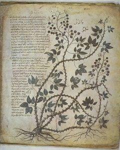 『ウィーン写本』(6世紀)