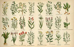 「Culpeper's complete herbal」よりハーブ一覧のページ