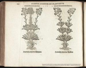 ヤーコブ・テーオドルの『Eicones plantarum seu stirpium 』(1590年出版)