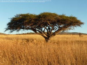 """アカシア属の""""アカシア・トルティリス(Acacia tortilis)"""" (eMakhosini Ophathe Heritage Park / 南アフリカ)"""