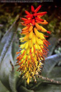 アロエ・フェロックスの花