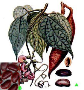 A:カラバルマメの各部位、B:カラバルマメの豆(実物)