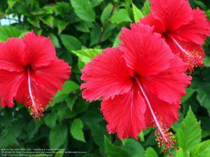 """ブッソウゲ(学名:Hibiscus rosa-sinensis)/ ハワイなどに咲く""""ハイビスカス""""としてよく知られる。"""