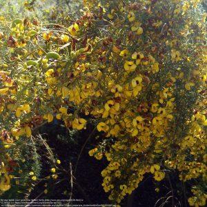 """同じサイクロピア属の""""Cyclopia meyeriana"""" (カーステンボッシュ・ナショナル・ボタニカル・ガーデン(Kirstenbosch National Botanical Gardens)/ 南アフリカ)"""