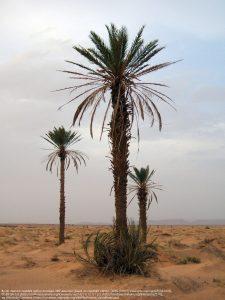 デーツの木(モロッコ)