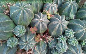 """ユーフォルビア属の種""""Euphorbia obesa""""(ケープタウン・南アフリカ)"""