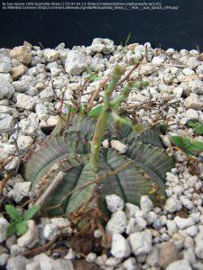 """ユーフォルビア属の種""""Euphorbia obesa"""""""