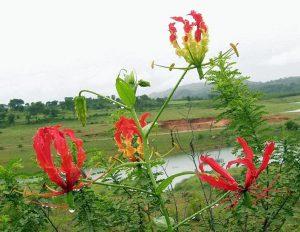 グロリオサ・スペルバ(インド・バンガロール)