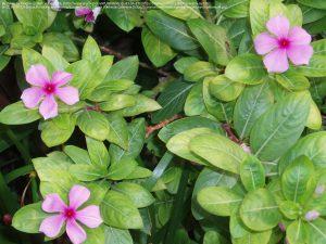 ニチニチソウ(ピンクの花)