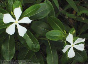 ニチニチソウ(白い花)