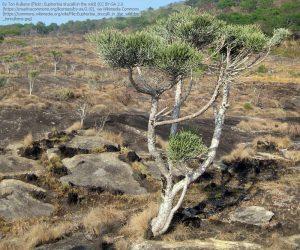 ミルクブッシュの木(モザンビーク・ナンプラ州に野生で生息しているもの)