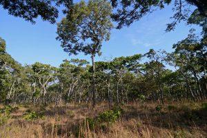 マラウェ(Malawi)のミオンボ森林地帯
