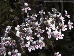 """ペラルゴニウムの亜属 """"Pelargonium crithmifolium"""" (「フーハップ自然保護区(Goegap Nature Rerserve)」/ 南アフリカ北ケープ・ナマカランド)"""