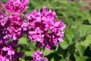 """""""Pelargonium cucullatum""""/ アメリカ国立樹木園(United States National Arboretum)"""