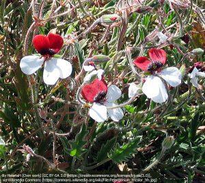 """ペラルゴニウム属の種""""ペラルゴニウム・トリコロール(Pelargonium tricolor)"""""""