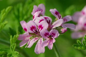 """Pelargonium graveolens"" (和名:ニオイテンジクアオイ)/  ペラルゴニウム属のうちアロマテラピーでも利用される、園芸品種の一種。"