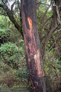 アフリカンチェリー(カメルーン山)/ 薬効利用のため樹皮が剥がされた幹