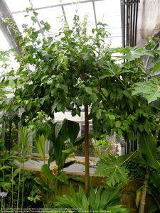 アフリカンチェリー / アメリカ植物庭園(United States Botanic Garden)
