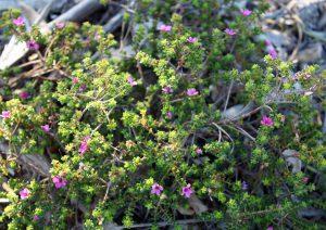 """""""ブチュー(Buchu)""""と呼ばれる種のうちのひとつ""""Acmadenia heterophylla"""""""
