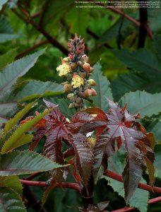 トウゴマの葉と花。上部の赤が雌株、下部の黄が雄株。