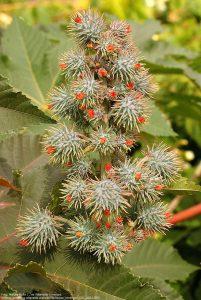 トウゴマ / 花の時期が終わり、種子の鞘(さや)が成長する時期。