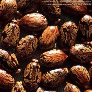 トウゴマの種子