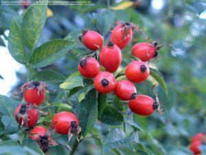 ローズヒップの赤い果実と葉