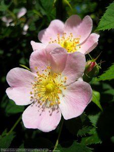 イヌバラ(ドッグローズ)の花