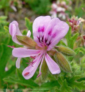"""センテッド・ゼラニウムと呼ばれる種のひとつ""""Pelargonium graveolens""""/ ローズ・ゼラニウムとも呼ばれる(米・サンフランシスコ植物園)"""