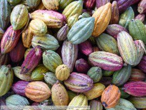 収穫された様々なカカオの果実(マダガスカル島アンバンジャ(Ambaja)にて)