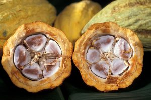 カカオの果実の断面 / 縦長のカカオの果実には、縦に豆が並んで詰まっている